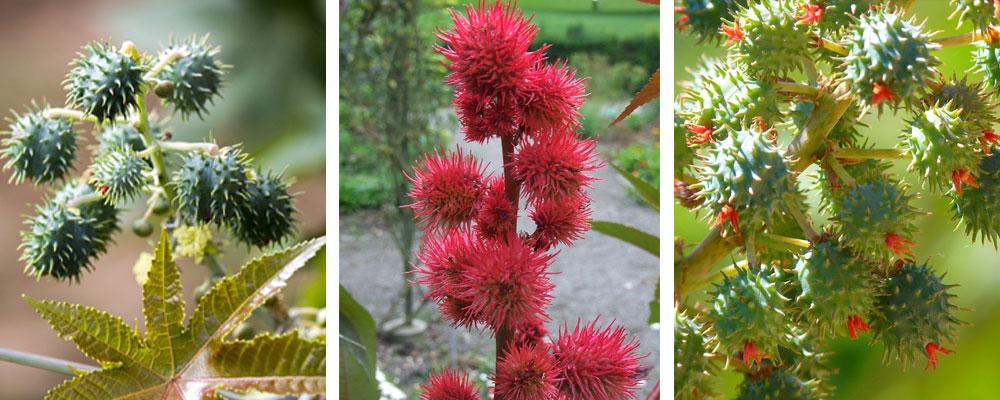 roślina rącznik pospolity - olej rycynowy
